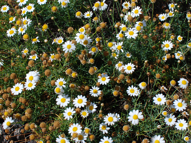 Chamomile Field Wild Flowers Texture Free
