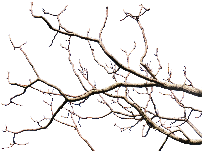 Dead Tree Branch With Transparent Background PNG