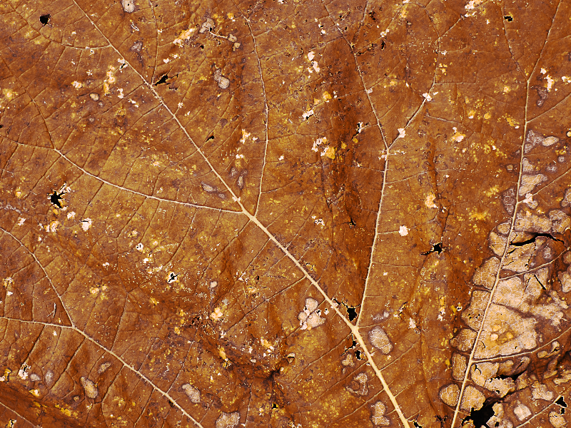 Dry Leaf Closeup Texture High Res