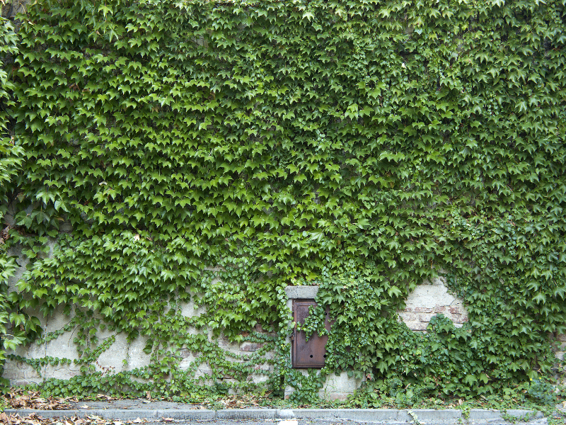 Green Foliage Ivy Wall Texture Free