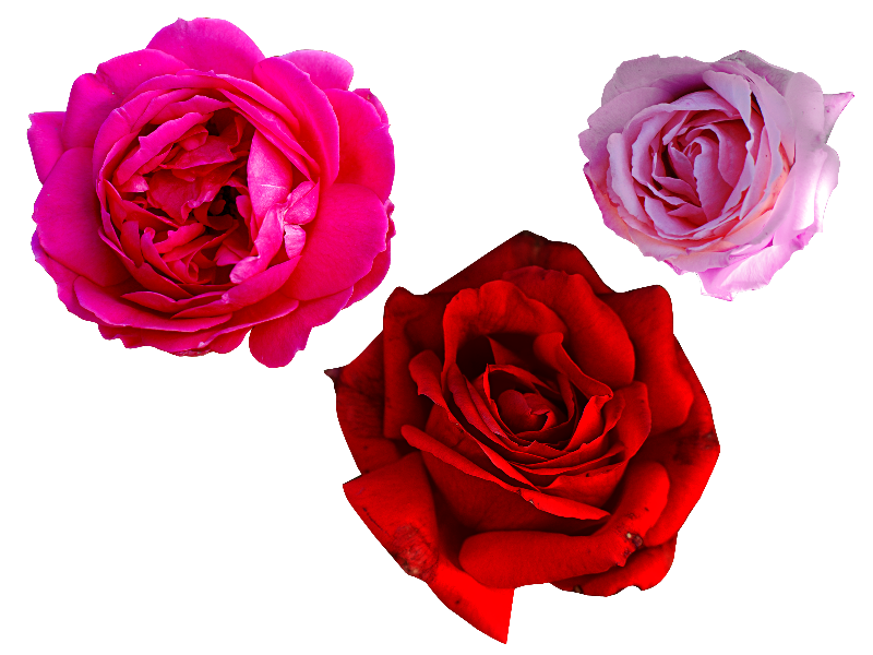Pink rose png free isolated objects textures for photoshop pink rose png free mightylinksfo