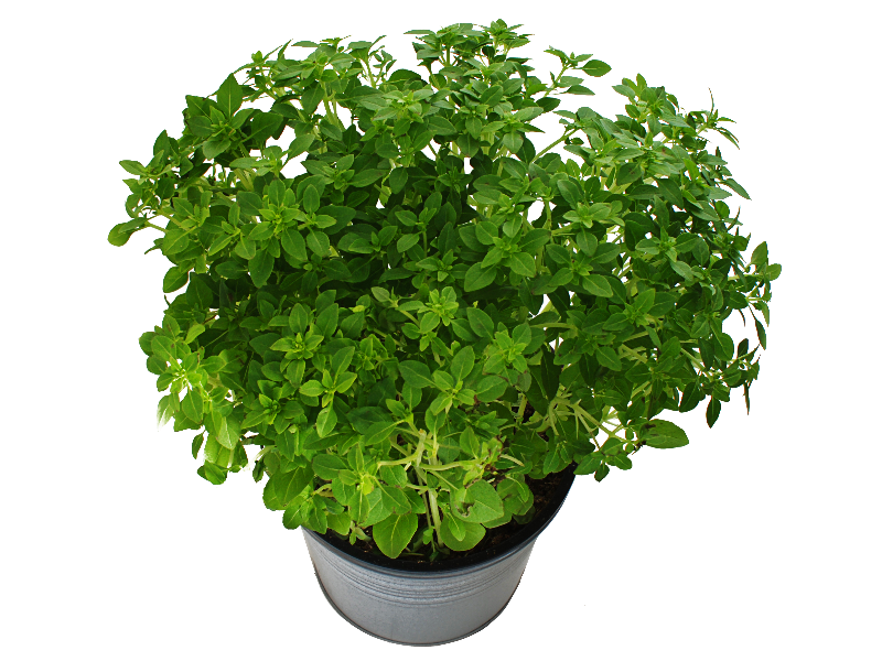 Potted Plant With Green Leaves PNG Free