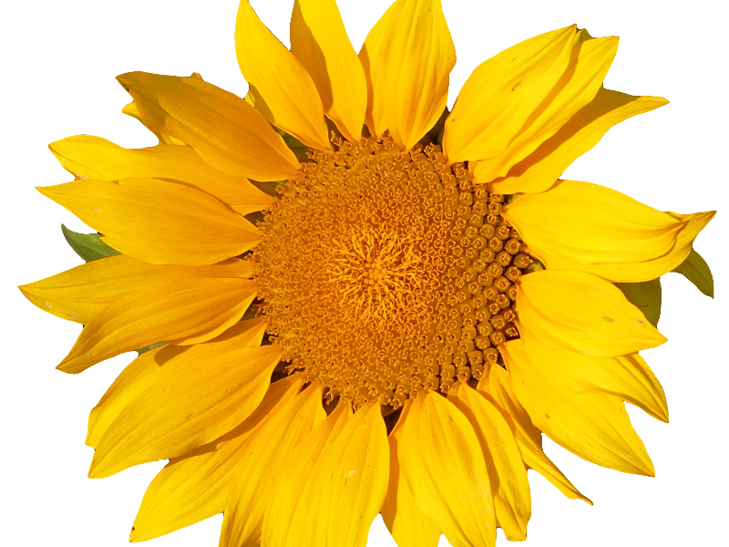 Sunflower Isolated Object Png