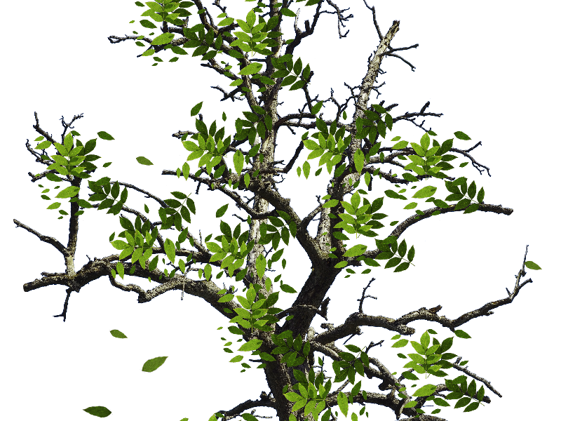 Tree With Green Leaves Isolated Object Png