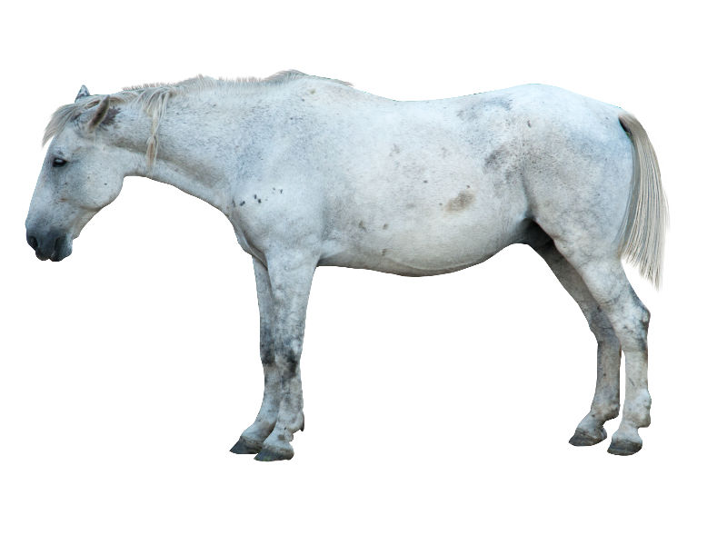 White Horse PNG Image